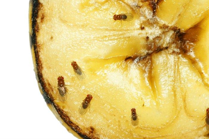 Fruit fly treatment
